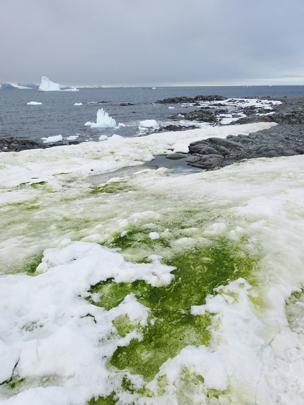Antarctica is growing algae due to climate change
